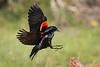Red-winged Blackbird<br /> <br /> (Agelaius phoeniceus)