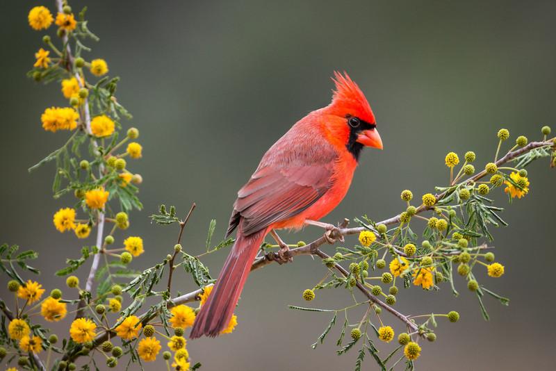 Northern Cardinal - Male<br /> <br /> (Cardinalis cardinalis)