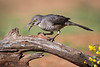 Curve-billed Thrasher<br /> <br /> (Toxostoma curvirostre)