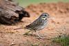 Lincoln sparrow<br /> <br /> (Melospiza lincolnii)