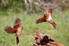 Northern Cardinal - Female<br /> <br /> (Cardinalis cardinalis)