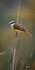 Great Kiskadee<br /> <br /> (Pitangus sulphuratus)<br /> <br /> Estero Llano Park, McAllen, TX