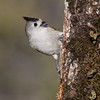 Black-crested Titmouse<br /> (Baeolophus atricristatus)<br /> <br /> Alan Murphy Bird Blind Workshop<br /> Roma, TX
