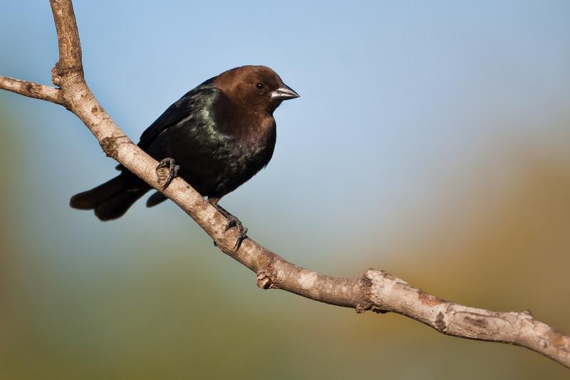 Brownheaded Cowbird<br /> (Molothrus ater)<br /> <br /> Alan Murphy Bird Blind Workshop<br /> Roma, TX