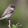 Eastern Phoebe<br /> (Sayornis phoebe)<br /> <br /> Alan Murphy Bird Blind Workshop<br /> Roma, TX