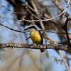 Great Kiskadee<br /> (Pitangus sulphuratus)<br /> <br /> Roma, TX
