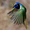 Green Jay<br /> (Cyanocorax yncas)<br /> <br /> Alan Murphy Bird Blind Workshop<br /> Roma, TX