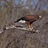 Harris's Hawk<br /> (Parabuteo unicinctus)<br /> <br /> Alan Murphy Bird Blind Workshop<br /> Roma, TX