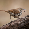 Long-billed Thrasher<br /> (Toxostoma longirostre)<br /> <br /> Alan Murphy Bird Blind Workshop<br /> Roma, TX