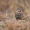 Northern Bobwhite<br /> (Colinus virginianus)<br /> <br /> Alan Murphy, Bird Blind Workshop<br /> Roma, TX