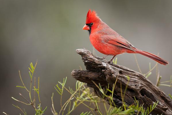 Birds of Roma, Texas