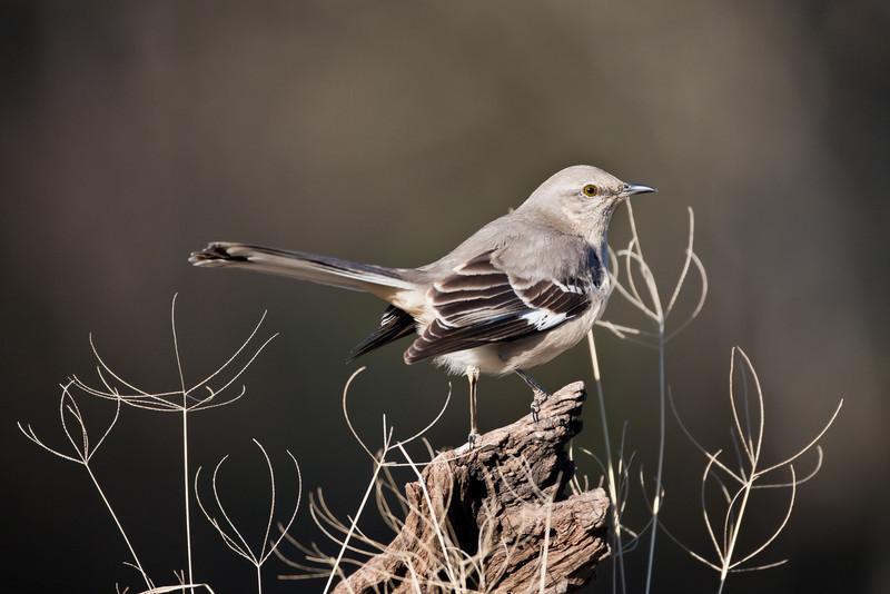 Northern Mockingbird<br /> (Mimimus polyglottos)<br /> <br /> Alan Murphy Bird Blind Workshop<br /> Roma, TX