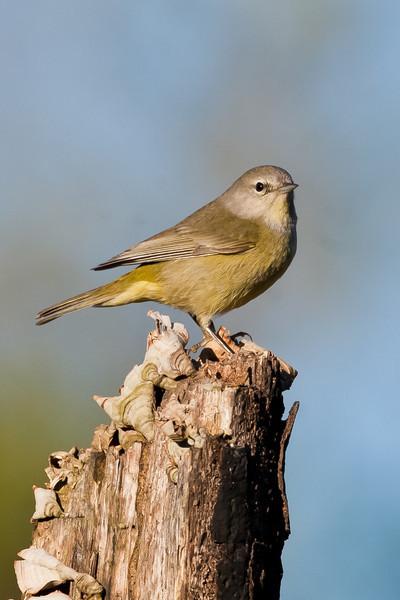 Olive Sparrow<br /> (Arremonops rufivirgatus)<br /> <br /> Alan Murphy Bird Blind Workshop<br /> Roma, TX