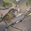 Olive Sparrow<br /> (Arremonops rufivirgatus)<br /> <br /> Alan Murphy Bird Blind Workshop<br /> Roma, TX
