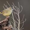 Orange-crowned Warbler<br /> (Vermivora celata)<br /> <br /> Alan Murphy Bird Blind Workshop<br /> Roma, TX