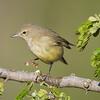 OMG...What did I step in?<br /> <br /> Orange-crowned Warbler<br /> (Vermivora celata)<br /> <br /> Alan Murphy Bird Blind Workshop<br /> Roma, TX