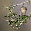 Ruby-crowned Kinglet<br /> (Regulus calendula)<br /> <br /> Alan Murphy Bird Blind Workshop<br /> Roma, TX
