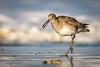 Willet<br /> (Tringa semipalmata)<br /> <br /> This Willet was racing to find a safe place to eat its tiny sea morsel.