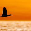 Sunset Silhouette<br /> <br /> Double-crested Cormorant<br /> (Phalacrocorax auritus)<br /> <br /> Artie Morris Workshop<br /> Morro Bay, CA