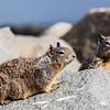 California Ground Squirrel<br /> (Otospermophilus beecheyi)<br /> <br /> Artie Morris Workshop<br /> Morro Bay, CA