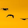 Evening Flight<br /> <br /> Longbilled Curlew<br /> (Numenius americanus)<br /> <br /> Artie Morris Workshop<br /> Morro Bay, CA