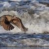 Longbilled Curlew<br /> (Numenius americanus)<br /> <br /> Artie Morris Workshop<br /> Morro Bay, CA