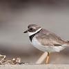 Semipalmated Plover<br /> (Charadrius semipalmatus)<br /> <br /> Artie Morris Workshop<br /> Morro Bay, CA