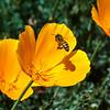 California Poppy with Bee<br /> <br /> Artie Morris Workshop<br /> Morro Bay, CA