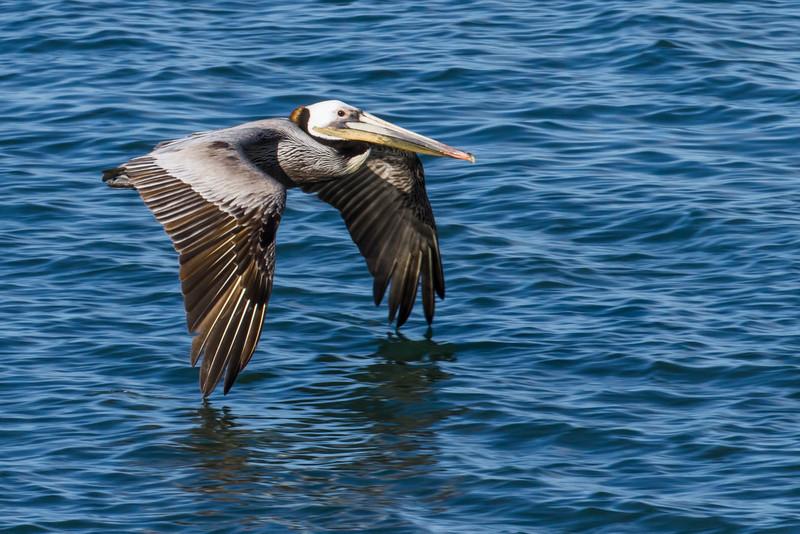 Brown Pelican<br /> (Pelecanus occidentalis)<br /> <br /> Artie Morris Workshop<br /> Morro Bay, CA