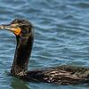 Double-crested Cormorant<br /> (Phalacrocorax auritus)<br /> <br /> Artie Morris Workshop<br /> Morro Bay, CA