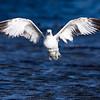 California Gull<br /> (Larus californicus)<br /> <br /> Artie Morris Workshop<br /> Morro Bay, CA