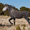 Stallion of Placitas, NM