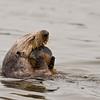 Sea Otter<br /> (Enhydra lutris)<br /> <br /> Elkhorn Slough<br /> Moss Landing, CA
