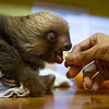 Two Toed Sloth<br /> (Choloepus hoffmani)<br /> <br /> Young Sloth Being Hand Fed in Nursery at Sloth Sanctuary of Costa Rica