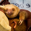 Two Toed Sloth<br /> (Choloepus hoffmani)<br /> <br /> Young Sloth Resting in Nursery at Sloth Sanctuary of Costa Rica