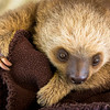 Two Toed Sloth<br /> (Choloepus hoffmani)<br /> <br /> Young Sloth in Nursery at Sloth Sanctuary of Costa Rica