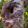 Three Toed Sloth<br /> (Bradypus variegatus)<br /> <br /> Sloth Posed in a Natural Setting<br /> Sloth Sanctuary of Costa Rica