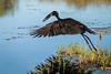 Openbill Hornbill