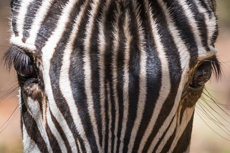 Zebra Head Study