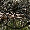 Mangrove Roots<br /> <br /> Barra de Santiago<br /> El Salvador