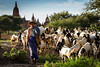 The plains of Bagan have a reported 2300 temples remaining.  The fields around these holy places are farmed with crops and animals, like this herd of goats.