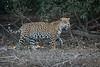 Jaguar Patrolling Its Territory