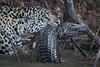 Jaguar Attacks Caiman Along River