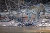 Jaguar Prowling Bank of Cuiaba River