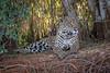 Jaguar Surveying Its Domain