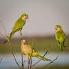 Three Monk Parakeets