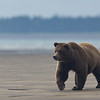 Bears spend alot of their time prowling the beach in search of a promising fishing spot.
