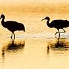 Sandhill Crane<br /> (Grus canadensis)<br /> <br /> Bosque del Apache<br /> Socorro, NM
