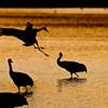Sandhill Crane Sunset Landing<br /> (Grus canadensis)<br /> <br /> Bosque del Apache<br /> Socorro, NM