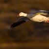Snow Goose<br /> (Chen caerulescens)<br /> <br /> Bosque del Apache<br /> Socorro, NM